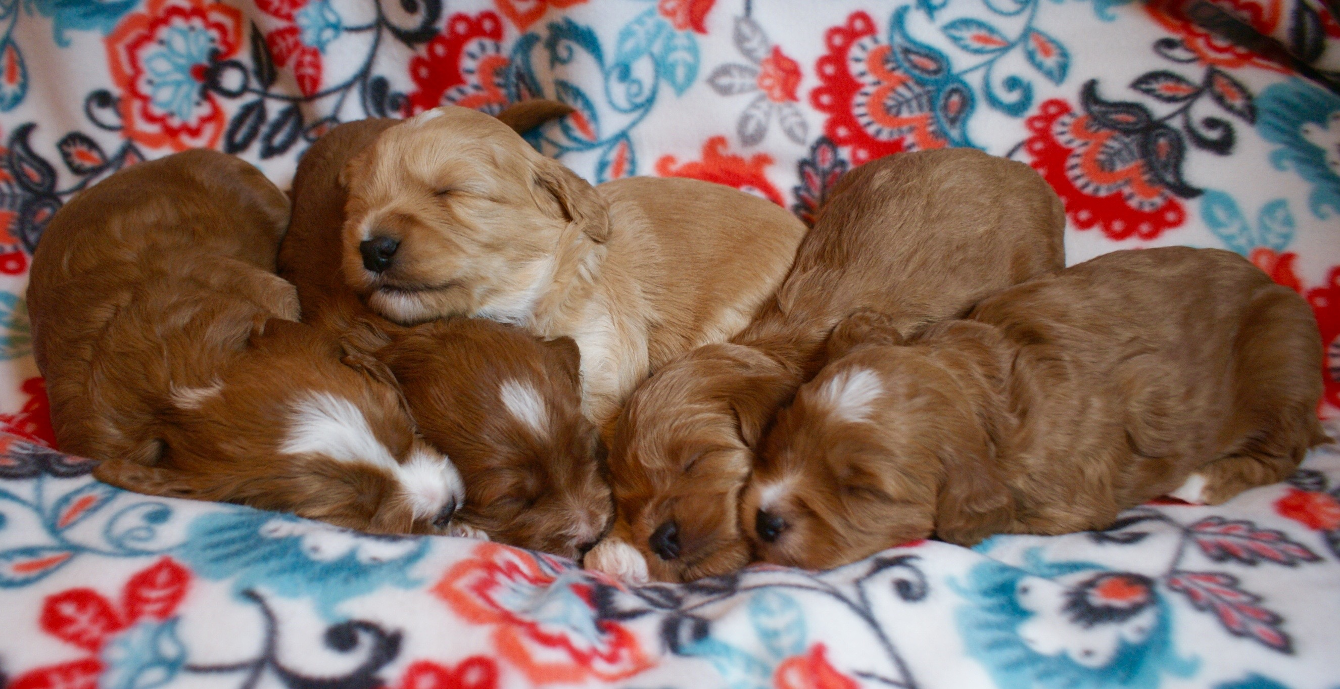 NorthStar Labradoodles – Available Australian Labradoodle